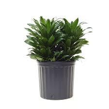 """نبات دراسينا (Dracaena """"Janet Craig"""" (Dracaena deremensis نباتات منزلية لا تحتاج للشمس"""