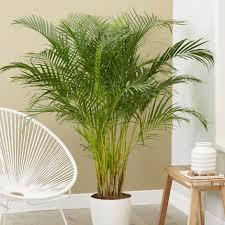 نخيل الأريكا Areca Palm (Chrysalidocarpus lutescens) افضل النباتات لتنقية الهواء في المنزل من السموم