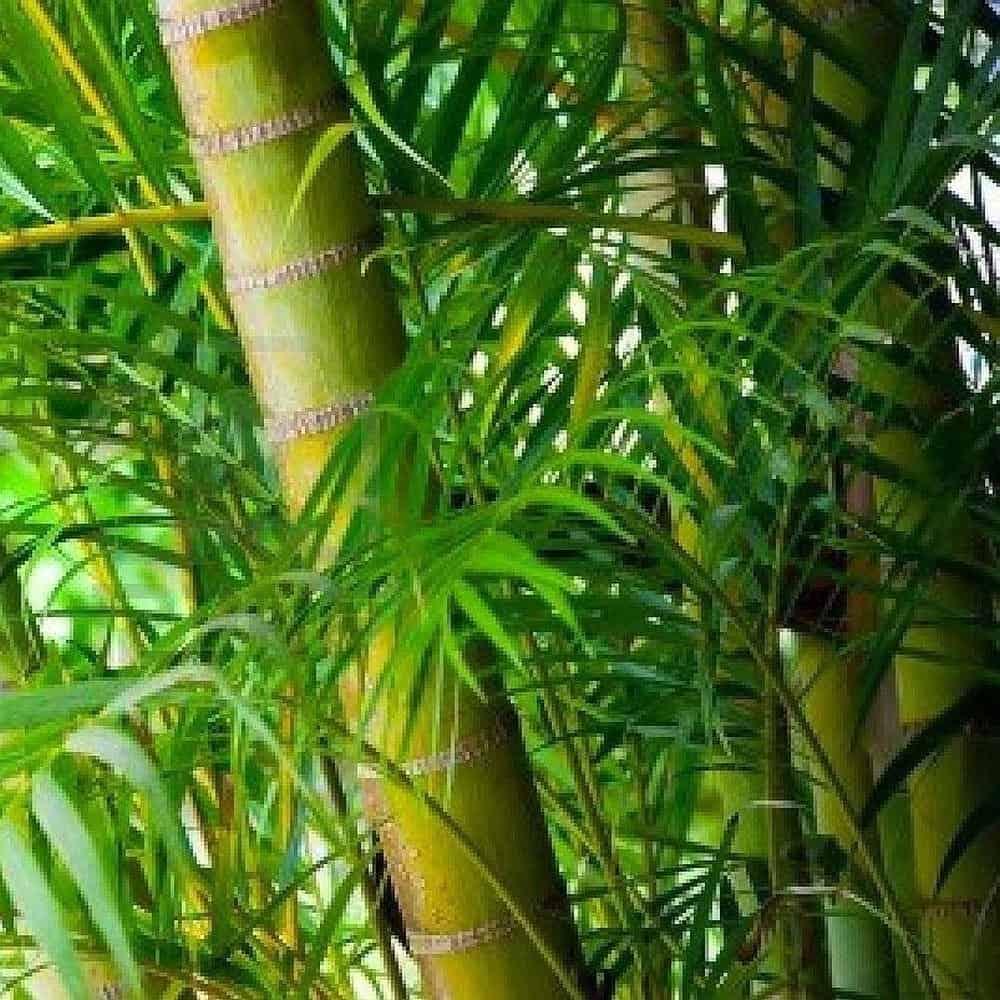 نخيل البامبو (الخيرزان) (Bamboo palm (Chamaedorea seifrizii نباتات زينه لتنقيه الهواء