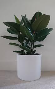 نبات المطاط (Rubber Plant (Ficus robusta نباتات تحب الظلام