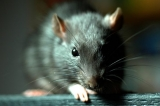 أفضل صائدة للفئران للتخلص من القوارض في بيتك